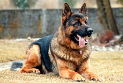 German Shepherd DMK